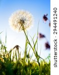 dandelion in the evening during ... | Shutterstock . vector #294491240