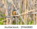 kingfisher  alcedo atthis  | Shutterstock . vector #29460880