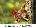 Squirrel Eating Nut On The Tree