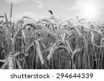Spikes Of Ripe Wheat On A...