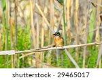 kingfisher  alcedo atthis  | Shutterstock . vector #29465017