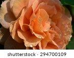 Orange Rose With Rain Drops...