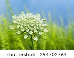 Wild Carrot Flower Closeup  An...
