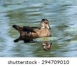 Juvenile Male Wood Duck Swimming