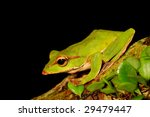 Emerald green treefrog - stock photo