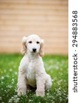 Small photo of adorable afghan hound puppy posing outdoors