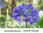 African Lily. Agapanthus...