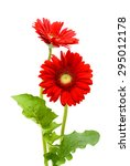 Red Gerbera Flower  Isolated O...