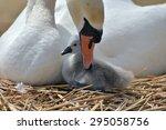 Adult Swan Nurturing Cygnet At...