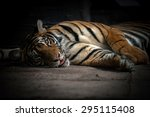 Bengal Tiger Sleeping On Floor