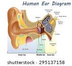 human ear diagram | Shutterstock .eps vector #295137158