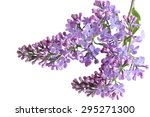lilac flowers twig isolated on... | Shutterstock . vector #295271300