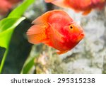 Red Blood Parrot Fish In...