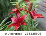 red lily lily is royal flowers  ... | Shutterstock . vector #295335908
