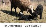 The Newborn Lamb Next To Her...