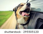 Stock photo a happy german shepherd mix breed dog is smiling with his tongue hanging out and his eyes closed as 295505120