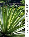 Small photo of Century Plant. Latin name Agave americana 'Variegata'