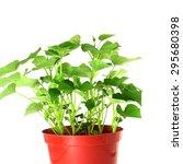 Growing Sweet  Potato In Pot...
