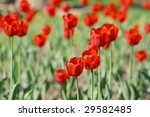many tulips in the garden | Shutterstock . vector #29582485