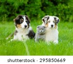 Stock photo two australian shepherd puppies and scottish cat lying on green grass 295850669