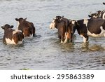 Cows Go On The River.