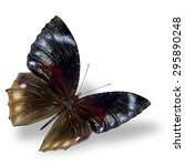 Pointed Palmfly  The Beautiful...