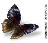 Pointed Palmfly  The Beautiful...