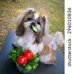 Shih Tzu Dog Eating Cucumber