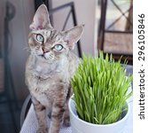 Pet Grass  Cat Grass