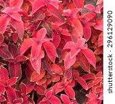 Small photo of leaves of Coleus colored red background