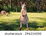 Wildlife Kangaroos Stands ...