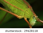 grasshopper - stock photo