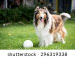 Cute Rough Collie Dog Standing...