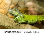 Green Iguana  Iguana Iguana  O...