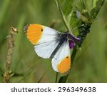 Orange Tip Butterfly  ...