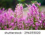 Vibrant Pink Common Heather ...