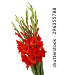 Red Gladiolus Flowers On White...