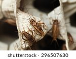 Small photo of House cricket (Acheta domestica) on egg pack. Wild life animal.
