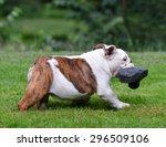 dog stealing shoe   four month... | Shutterstock . vector #296509106