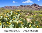 Blooming Prickly Pear Cacti In...