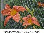 Two Flower Orange Daylily ...