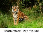 royal bengal tiger stopped... | Shutterstock . vector #296746730