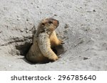 Cute Marmot Peeking Out Of A...