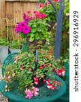 Pink Fuchsia Planted In A...