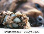 Stock photo pow of a beautiful lazy irish setter 296953523
