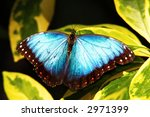 common morpho butterfly | Shutterstock . vector #2971399