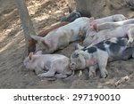 Piglets Sleeping Together