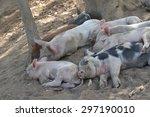 Piglets Sleeping Together