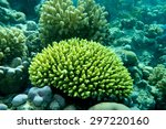 Small photo of Good specimen of the hard coral, Acropora humilis. In the Red Sea near Sharm el Sheikh. Natural colour.