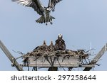 The Family Of Osprey